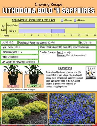 Lithodora Gold 'N Sapphires - Growing Recipe
