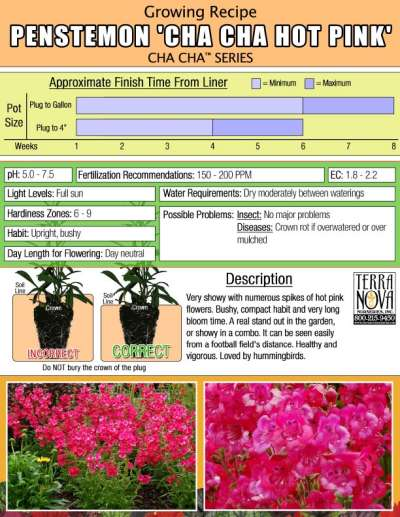 Penstemon 'Cha Cha Hot Pink' - Growing Recipe