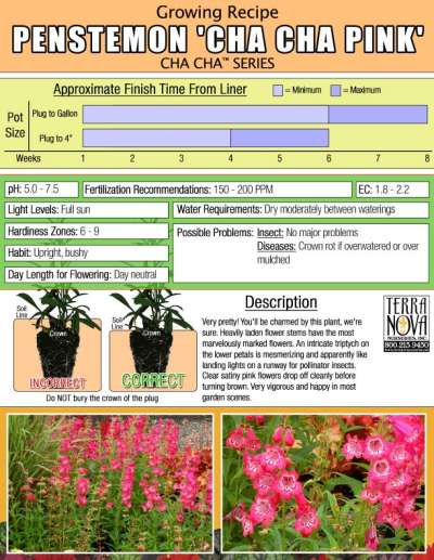 Penstemon 'Cha Cha Pink' - Growing Recipe