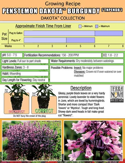 Penstemon DAKOTA™ Burgundy - Growing Recipe