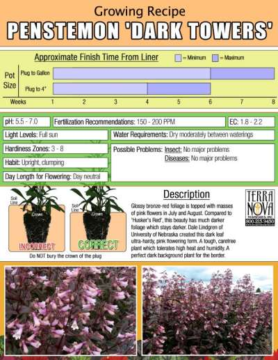 Penstemon 'Dark Towers' - Growing Recipe