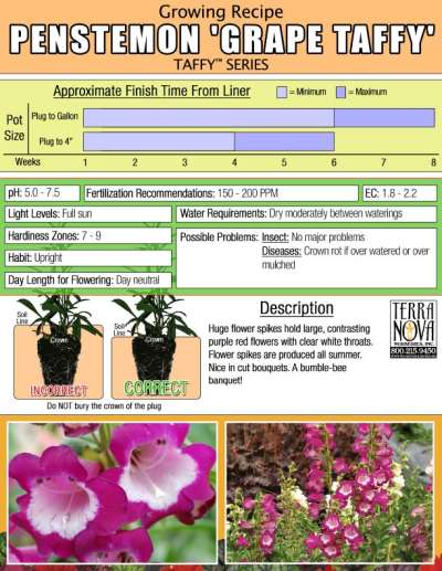 Penstemon 'Grape Taffy' - Growing Recipe