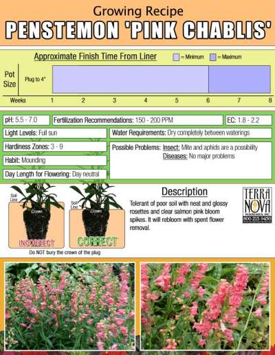 Penstemon 'Pink Chablis' - Growing Recipe