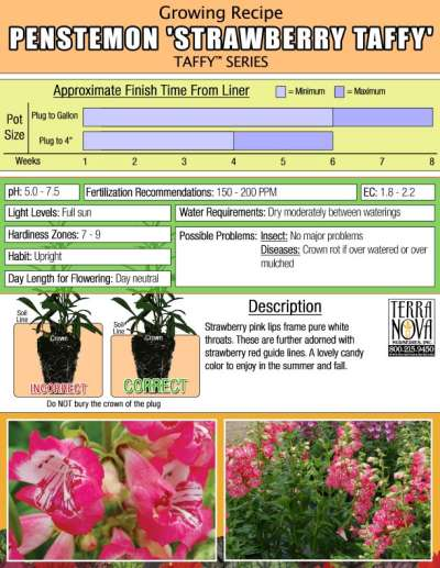 Penstemon 'Strawberry Taffy' - Growing Recipe