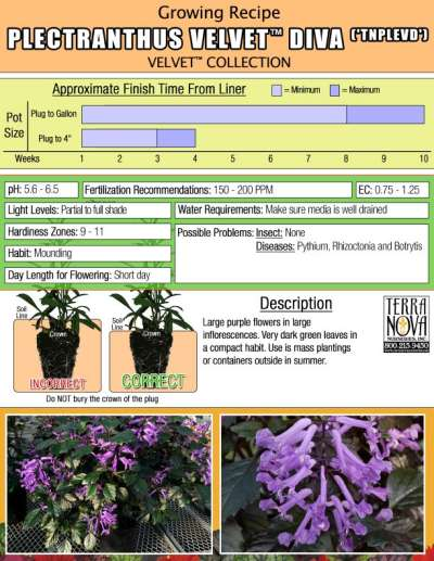 Plectranthus VELVET™ Diva - Growing Recipe