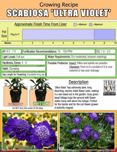 Scabiosa 'Ultra Violet' - Growing Recipe