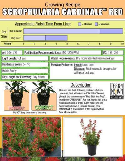 Scrophularia CARDINALE™ Red - Growing Recipe