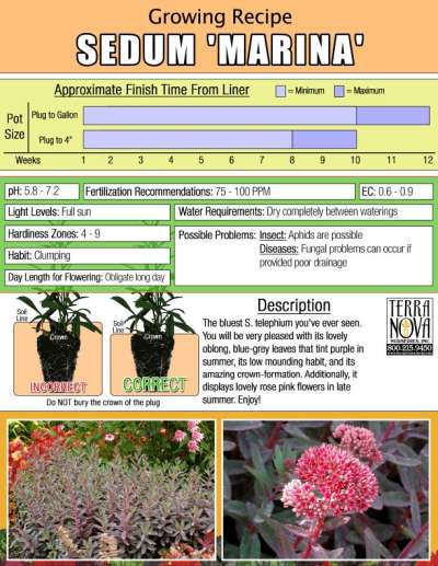 Sedum 'Marina' - Growing Recipe