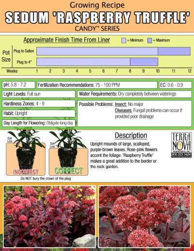 Sedum 'Raspberry Truffle' - Growing Recipe