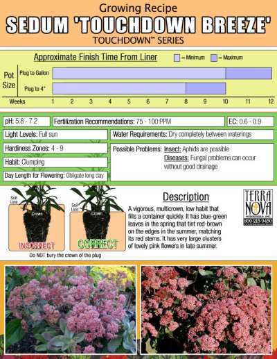 Sedum 'Touchdown Breeze' - Growing Recipe