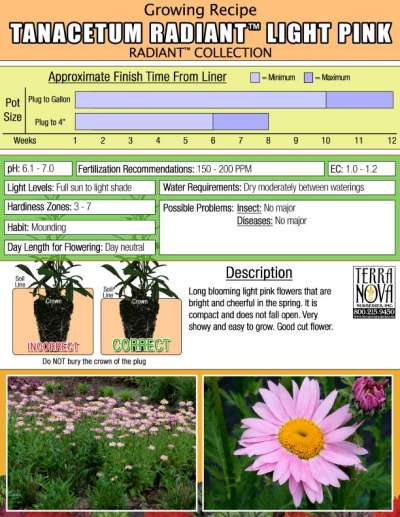 Tanacetum RADIANT™ Light Pink - Growing Recipe