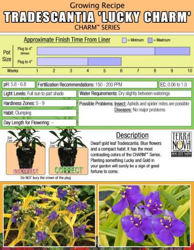 Tradescantia 'Lucky Charm' - Growing Recipe