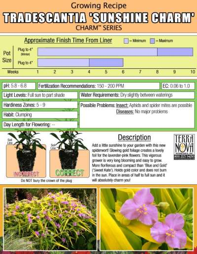 Tradescantia 'Sunshine Charm' - Growing Recipe