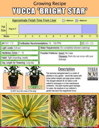 Yucca 'Bright Star' - Growing Recipe