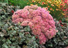 Sedum �Beach Party'