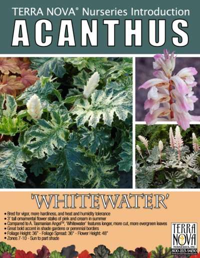 Acanthus 'Whitewater' - Product Profile