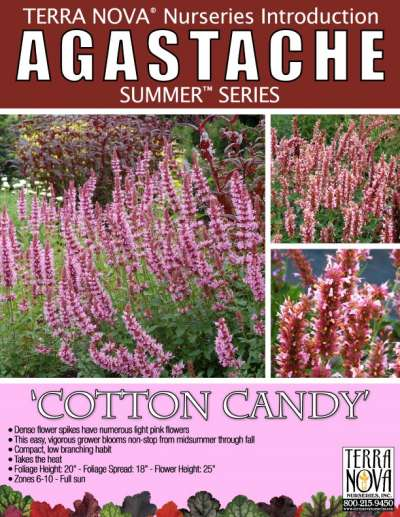 Agastache 'Cotton Candy' - Product Profile