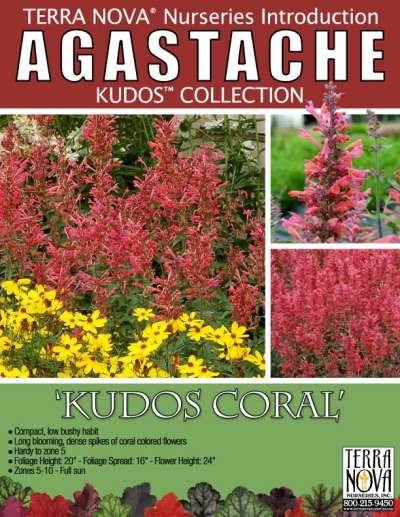 Agastache 'Kudos Coral' - Product Profile