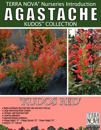 Agastache 'Kudos Red' - Product Profile