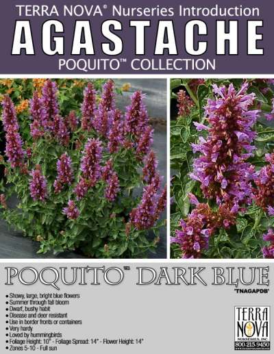 Agastache POQUITO™ Dark Blue - Product Profile
