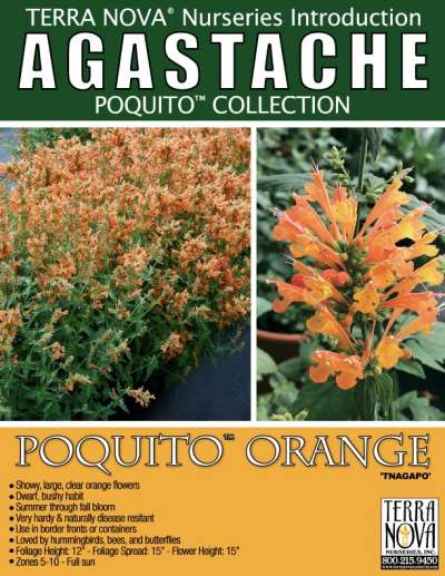 Agastache POQUITO™ Orange - Product Profile