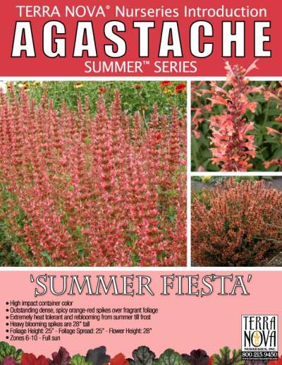 Agastache 'Summer Fiesta' - Product Profile