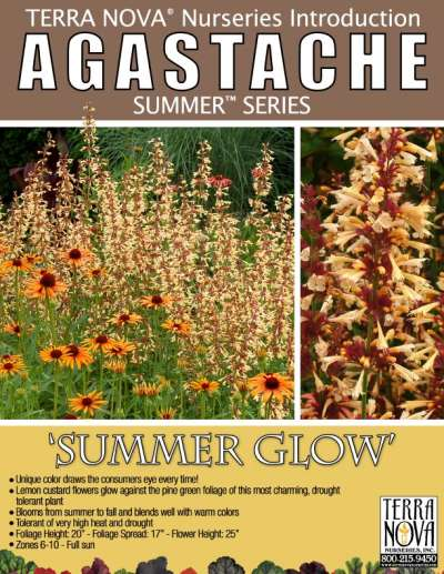 Agastache 'Summer Glow' - Product Profile