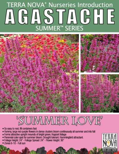 Agastache 'Summer Love' - Product Profile
