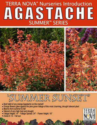 Agastache 'Summer Sunset' - Product Profile