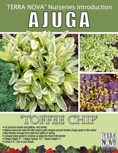 Ajuga 'Toffee Chip' - Product Profile