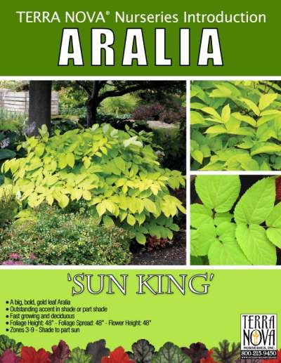 Aralia 'Sun King' - Product Profile