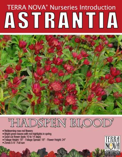 Astrantia 'Hadspen Blood' - Product Profile