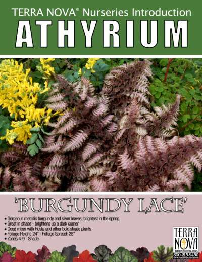 Athyrium 'Burgundy Lace' - Product Profile