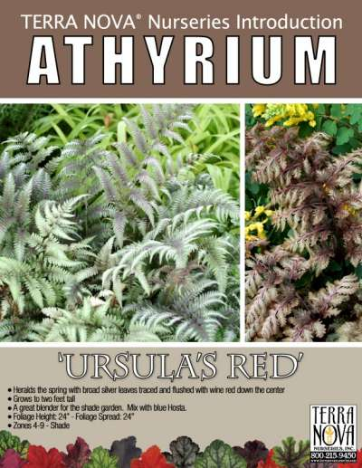 Athyrium 'Ursula's Red' - Product Profile