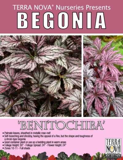 Begonia Rex Benitochiba .