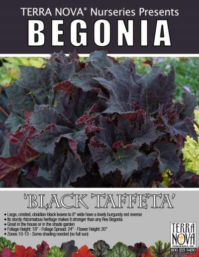 Begonia 'Black Taffeta' - Product Profile