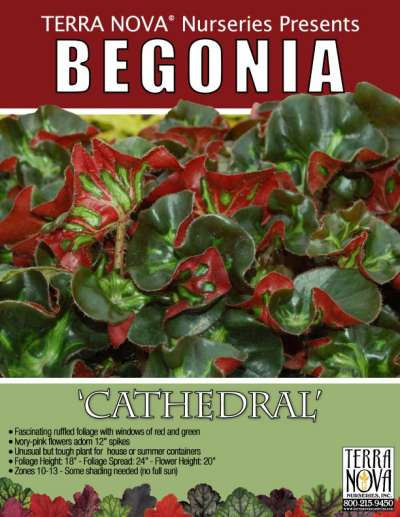 Begonia 'Cathedral' - Product Profile