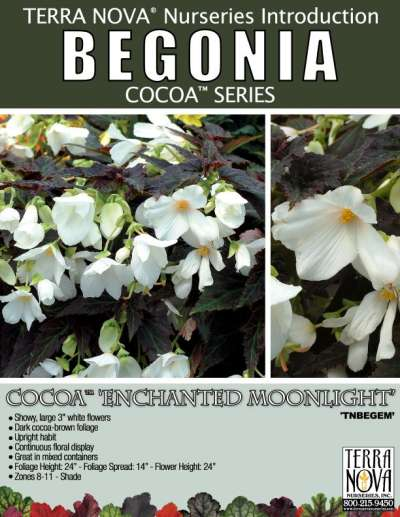 Begonia COCOA™ 'Enchanted Moonlight' - Product Profile