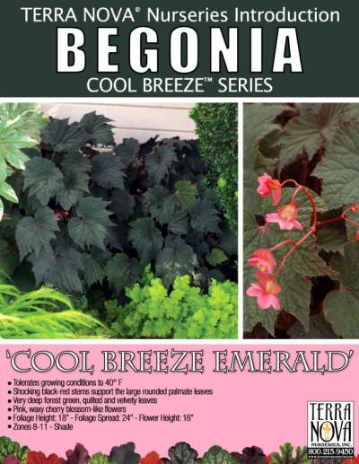 Begonia 'Cool Breeze Emerald' - Product Profile
