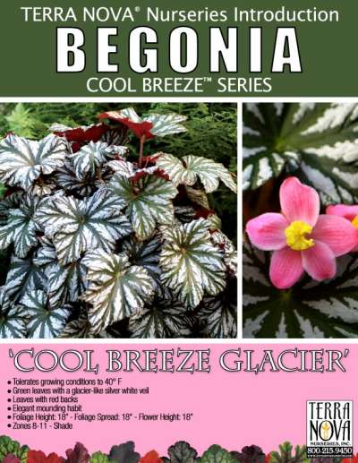 Begonia 'Cool Breeze Glacier' - Product Profile