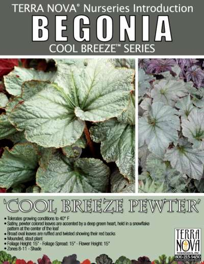 Begonia 'Cool Breeze Pewter' - Product Profile