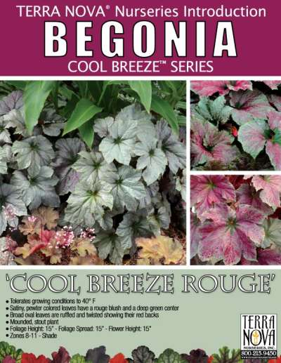 Begonia 'Cool Breeze Rouge' - Product Profile