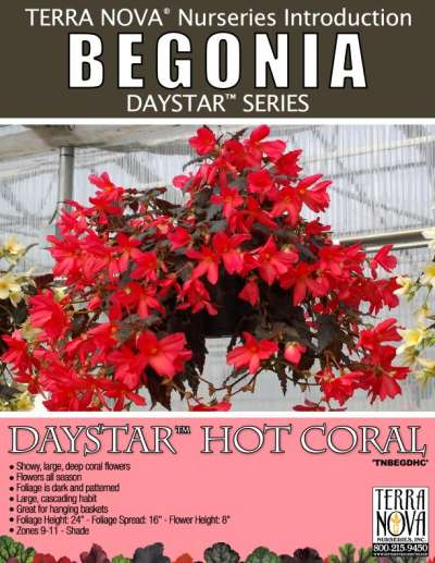 Begonia DAYSTAR™ Hot Coral - Product Profile