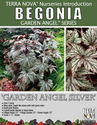 Begonia 'Garden Angel Silver' - Product Profile