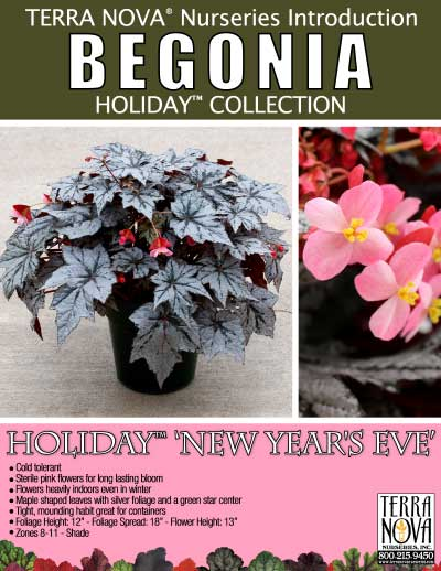 Begonia HOLIDAY™ 'New Year's Eve' - Product Profile