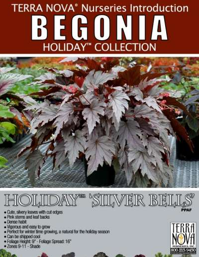 Begonia HOLIDAY™ 'Silver Bells' - Product Profile