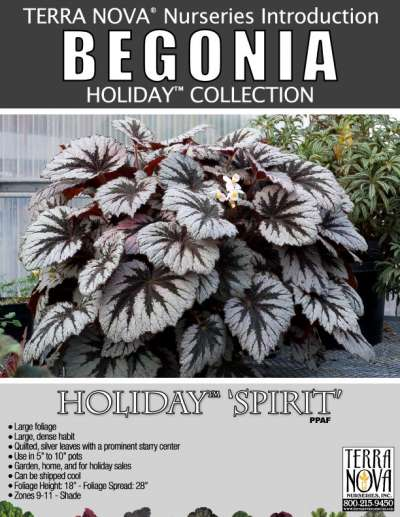 Begonia HOLIDAY™ 'Spirit' - Product Profile