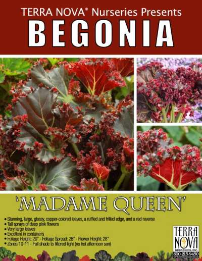 Begonia 'Madame Queen' - Product Profile