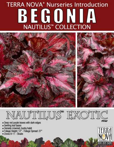 Begonia NAUTILUS™ Exotic - Product Profile