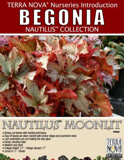 Begonia NAUTILUS™ Moonlit - Product Profile